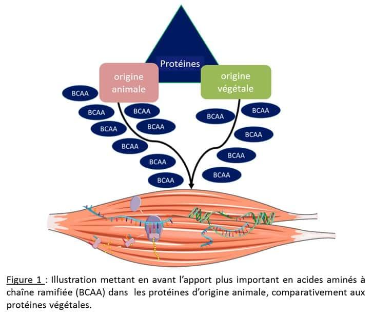 Fragilité de la personne âgée et protéines